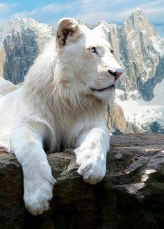 Cute albino lioness