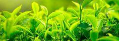 Jak je to skutečně s kofeinem v čaji, jak se liší od toho v kávě a jak vybírat čaj podle obsahu kofeinu shrnujeme dnes na www.tastea.cz Herbs, Plants, Green Nature, Herb, Plant, Planets, Medicinal Plants