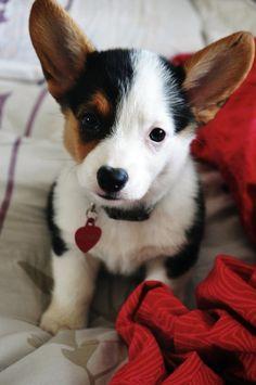 Aw. Corgi pup! #animals