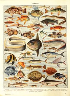 Here is a gorgeous original vintage fish poster featuring all kinds of fish (poissons in French) in bright colors. This vintage fish print comes from