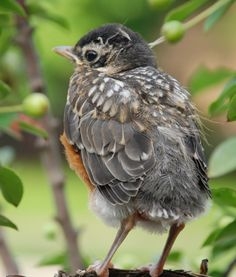 Fly, Like Never Before, A Young Fledgling I watched from Birth, taking his first flight