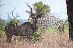 Large Male Kudu - Kruger National Park, South Africa