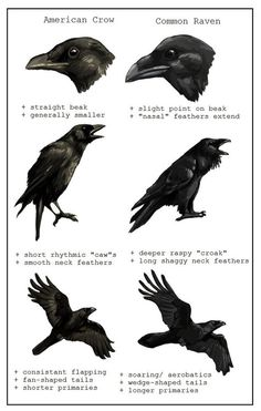 """viαofpaperandponies:Crow Vs. Raven by Paso Ravens are also largely solitary, while crows are gregarious. Crows tend to be snippy at each other, while ravens, when in groups, tend to play """"games"""" that seem to (at least to humans) have no purpose other than fun. Crows play, too, but primarily as yearlings or younger."""