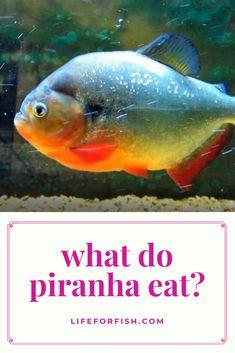 What Do Piranhas Eat 4 Interesting Facts Fish Care Saltwater Aquarium Fish Pet Tiger