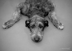 pooped irishwolfhound...that looks like Chloes snout alright!