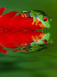 Red-Eyed Tree Frog, Costa Rica. Photo by Jim Zuckerman, betterphoto.com