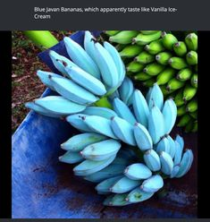 Blue Javan bananas - Food Meme - Blue Javan bananas The post Blue Javan bananas appeared first on Gag Dad. Wow Facts, Wtf Fun Facts, Unbelievable Facts, Exotic Fruit, The More You Know, Things To Know, Mind Blown, Awesome, Amazing