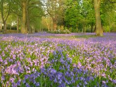 Bluebells cover the grounds in the Spring. Hedsor House have some of the most beautiful grounds in Buckinghamshire. Country Uk, Country Houses, Hedsor House, Country House Wedding Venues, English Decor, Corporate Events, Most Beautiful, House Design, London