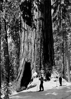 Ansel Adams of course.  These trees are the oldest living thing on earth.