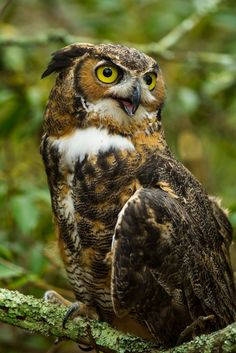 Great Horned Owl, (Bubo virginianus), Cedar Run Wildlife Refuge,Medford, N.J.
