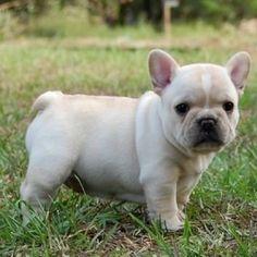 French Bulldog! I gotta have one!(: