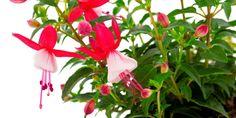 Pěstujte fuchsie úspěšně: 10 praktických rad Flowers, Plants, Florals, Planters, Flower, Blossoms, Plant, Planting