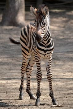 Young zebra.  ***** Referenced by 1 Dollar Web Hosting  (WHW1.com): WebSite Hosting - Affordable, Reliable, Fast, Easy, Advanced, and Complete.©
