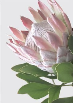 Wall art- King and Queen Protea – Oz Decor and