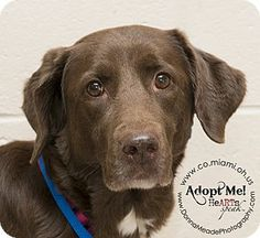 URGENT!  I am at a kill shelter in Troy, OH - Labrador Retriever Mix. Meet Daisy a Dog for Adoption.