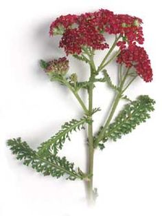 Red Yarrow  Achillea millefolium 'Cerise Queen'  Uses: Medicinal/Beverage/Aromatic Duration: Perennial (hardy in zones 5-10)  When to Sow: Spring/Late Summer/Early Fall Ease of Germination: Easy  Similar to common white yarrow. Flowers cherry-red.