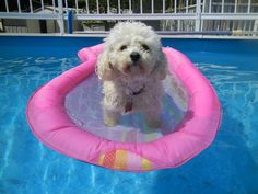 """Sherry in Spanaway sent this photo of her pup named Switch.  """"Switch loves being in the pool and just floating around."""""""