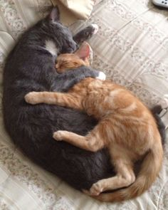 OP says:  We took in a stray cat that had a nasty eye infection, so bad that we had to take his eyes out. Being completely blind, one of our older cats decided to take care and help him around the house. I found them later asleep like this.