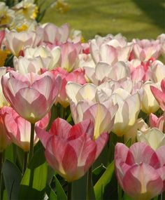 Tulip Flaming Purissima - Emperor Tulips - Tulips - Flower Bulb Index