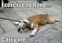 :Bulldogs are not big fans of physical movement....and they're stubborn as shit....