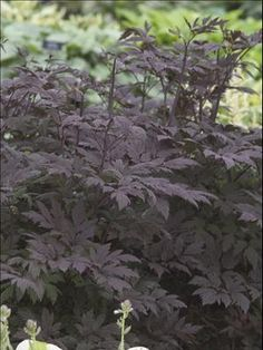 Cimicifuga 'Hillside Black Beauty' background plant for shade
