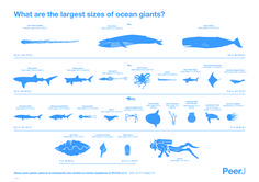 """PeerJpublished an amazing study this week: """"Sizing ocean giants: Patterns of intraspecific size variation in marine megafauna"""" by Craig McClain et al.  In this study, a team made up of a mix of scientists and students sifted through multiple data"""