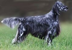 English Setter Puppies for Sale | English Setter