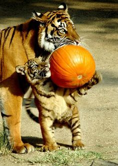 Halloween is a family holiday at the Los Angeles Zoo and Botanical Gardens... With a little help from Mom, this baby Tiger brings their pumpkin home to carve (or chew). Photo Credit: Los Angeles Zoo and Botanical Gardens