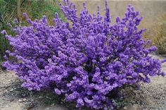 Purple Sage Plant - Perennial hardy to zone 4-5
