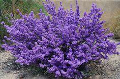 Purple Sage Plant | Purple Sage Bush | Flickr - Photo Sharing!
