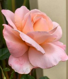 Religious Magic And Spiritual Ability Element One Stunning Pink Peach Rose My Flower, Flower Art, Flower Power, Rose Photos, Flower Photos, Beautiful Roses, Beautiful Flowers, Rose Reference, Lavender Roses