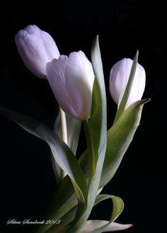 Pretty Pastel Tulips