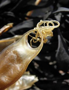 shark egg.. aka Mermaid purse..