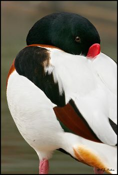 Common Shelduck Bird