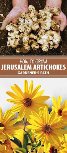 In spite of the name, no, this isn't really an artichoke! Instead, sunchokes are a close relative of the sunflower, and the plant looks quite a bit like it, too. Read on for all you need to know about this bright, tasty, and easy-to-grow flower, plus some tips for mastering the preparation of these delicious tubers the French way, and even its potential health benefits. Check it out now.