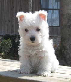 Teacup Westie Puppies 1000+ ideas about <b>westie puppies</b> on pinterest <b>westies</b>, <b>west</b> ...