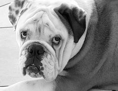 Short And Thick, French Bulldog, Pets, Animals, Life, Animals And Pets, Animales, Bulldog Frances, Animaux