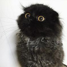 Cute Gimo, le chat le plus mignon du monde avec des yeux comme des billes