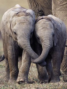 Young African Elephants with Trunks Entwined, Masai Mara, Kenya