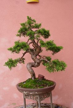Bonsai Fogolin
