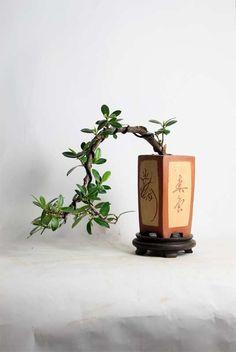 Green Island Fig Bonsai Tree by LiveBonsaiTree by LiveBonsaiTree