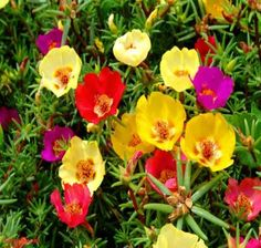 Learn about the Best Plants For Hanging Baskets. Hanging baskets filled with colorful flowers and plants are very showy and elegant and adorn any garden. You don& need a lot of space to display them, too! Portulaca Flowers, Portulaca Grandiflora, Flowers Perennials, Planting Flowers, Portulaca Oleracea, Balcony Plants, Outdoor Plants, Garden Plants, Garden Web