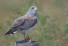 White-tailed Hawk - Buteo albicaudatus - Details - Encyclopedia of Life