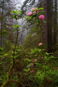 Rhododendron - Redwood National Park - 10 by Tucapel Beautiful Landscapes, Beautiful Gardens, Spring Scenery, Beautiful Places, Beautiful Pictures, Mystical Forest, Forest Background, Photo Background Images, Photo Tree