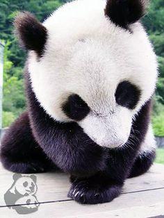 Awwww sweet baby panda :3