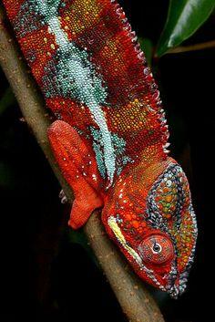 Furcifer pardalis Sirama male panther chameleon