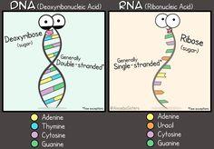 DNA vs RNA #science #biology