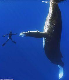 Buzo y ballena gigante se 'saludan de mano' en Hawai | FOTOGALERÍA: Ballena 'saluda' a un buzo en el mar de Hawai