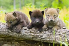 Cuteness overload. Gray Wolf Pups in Yellowstone National Park. #visitbigsky