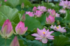 Beautiful Places In Japan, Pond Plants, Water Lilies, Lotus, Beautiful Flowers, Fish, Pretty Flowers, Lotus Flowers, Lily